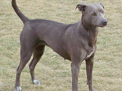 Blue Lacy hund rasen