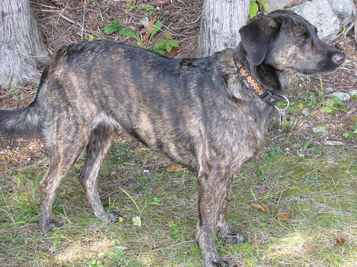 Treeing Tennessee Brindle Dogs