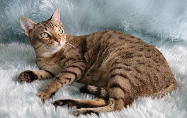 Wild Cat Breeds Australia