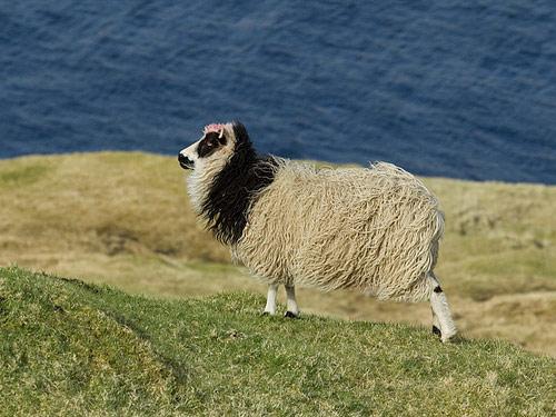法罗群岛羊 羊 - 品种羊