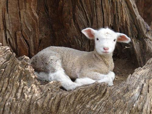 Ram Ile De France Ile De France Ram Ewes Lamb Ile De